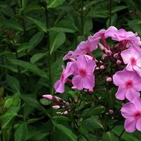福祿考一年生草本  供應各類花卉種子苗木種子草籽