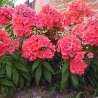 常年供應福祿考杯苗 供應各類花卉種子苗木種子草籽