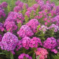 福祿考都有什么顏色呢  供應各類花卉種子苗木種子草籽