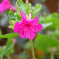 常年销售紫茉莉种子