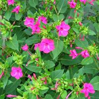 一年生的 紫茉莉 供应各类花卉种子苗木种子草籽