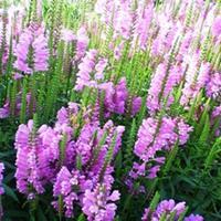 常年销售  假龙头冷色系花卉 搭配暖色系的一串红 绝对美