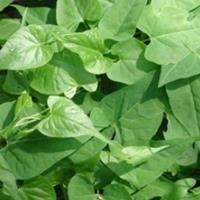 何*乌生理特性,需要种子请联系绿康态