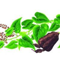何*乌的产地,种子绿康态有,量大优惠