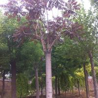 红叶椿苗圃供应红叶椿工程苗红叶椿种条