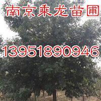 2公分-15公分沼生栎价格