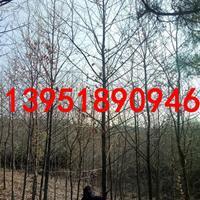 16公分沼生栎 基地价格多少钱