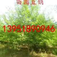 沼生栎基地7公分8公分9公分10公分11公分基地价格批发