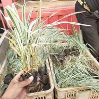 玉带草园林用途,水生玉带草观赏效果,采购价格