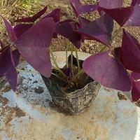 紫叶酢浆草杯苗批发价格,绿叶酢浆草快乐赛车开奖商