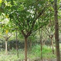 精品黄葛树、黄角树批发、大叶榕基地、成都黄桷树价格