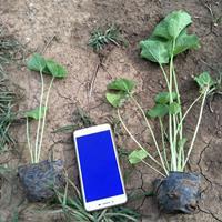 蜀葵品种介绍,盆栽蜀葵批发价格