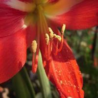 朱頂紅和百合花的區別  銷售各種進口種球