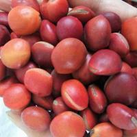 专业批发鄂西红豆种子,何氏红豆、鄂西红豆、江阴红豆花梨木种子