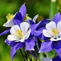春秋可播花卉  耧斗菜种子 常年快乐赛车开奖