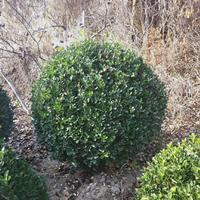 大葉黃楊杯苗,大葉黃楊球種植基地