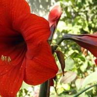 朱顶红只长叶子不开花怎么办