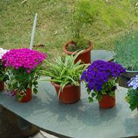 供应草花种子 品种齐全   翠菊种子