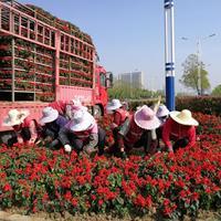 花坛必备品种 一串红  鸡冠花  等