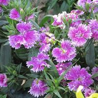 品种有二月兰、大花金鸡菊、地被石竹等