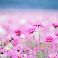 美女樱、太阳花、波斯菊等时令草花种子