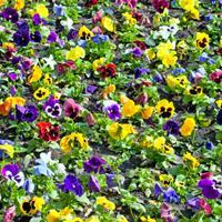 三色堇又名三色堇菜、蝴蝶花、供应各类花卉种子苗木种子草籽