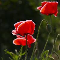 批發冰島虞美人種子 江蘇草花種子 花卉種子批發