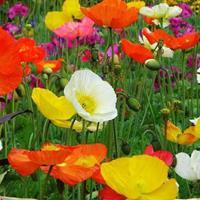 虞美人種子  各種草花種子,花卉種子,花海必備種子