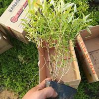 潍坊金叶莸盆栽苗产地供应,金叶莸袋苗低价出售