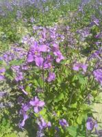 常年供应二月兰种子,早春开花