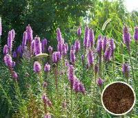 江苏绿康态种业  主要批发各种草花种子 蛇鞭菊