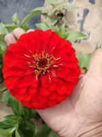 銷售草花種子,大花紅色百日草