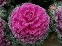 冷季型花卉,羽衣甘蓝