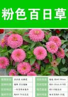 粉色百日草,大量有貨,常年供應