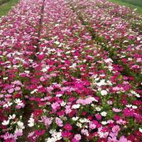 波斯菊种子种苗销售,波斯菊盆栽苗批发价格
