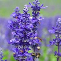 供应薰衣草种子,花海必备品种  提炼精油 制作干花