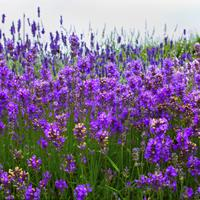 薰衣草多年生耐寒花卉,适宜花径丛植或条植,批发种子
