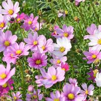 批发一年生混色花卉种子 波斯菊  百日草  等