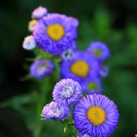 翠菊批发   花瓣有浅白、浅红、蓝紫等色