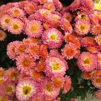 供应翠菊种子,春,夏,秋可播