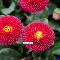 常年有售翠菊种子  用于盆栽、花坛观赏