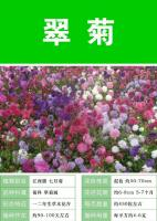 翠菊,一二年生草本,批发翠菊种子