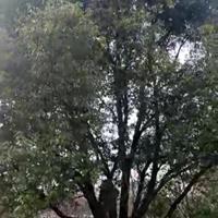 江蘇蘇州叢生香樟