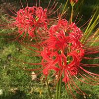 凄美之花 红花石蒜 彼岸花 水仙 百合 稀世之宝