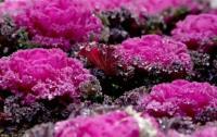 羽衣甘蓝,冷季型花坛摆花