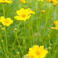 金鸡菊采用播种或分株繁殖,夏季也可进行扦插繁殖