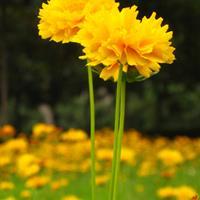 怎么让金鸡菊开花多呢    批发金鸡菊 种子