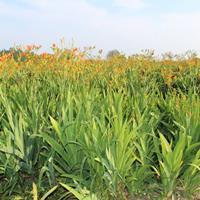 快乐赛车开奖射干种子   种子发芽率90%以上