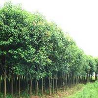苗圃基地 优质丝棉木批发 丝绵木价格 数量多规格全价格实惠