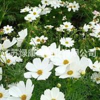 批发白色波斯菊种子